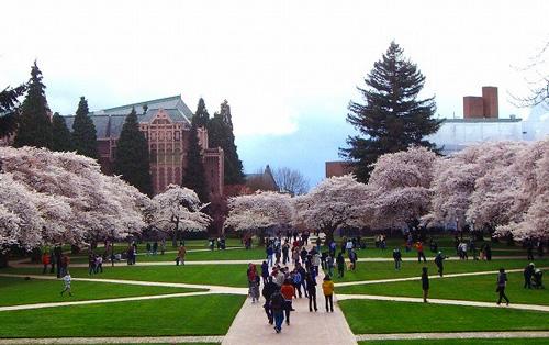 シアトルの桜