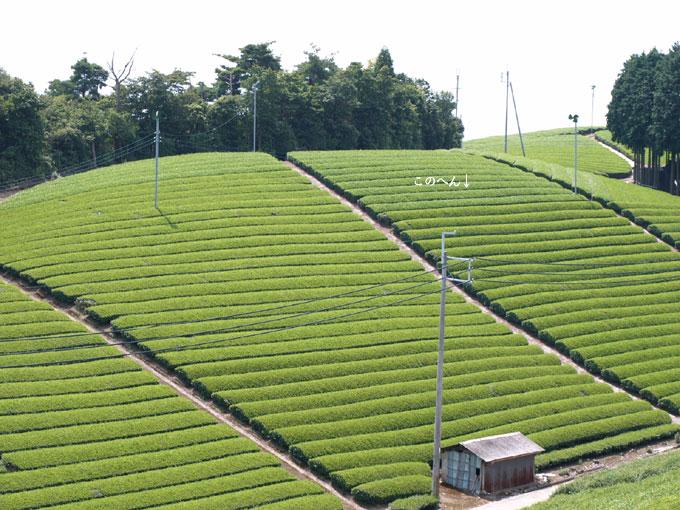 茶畑とアジサイ
