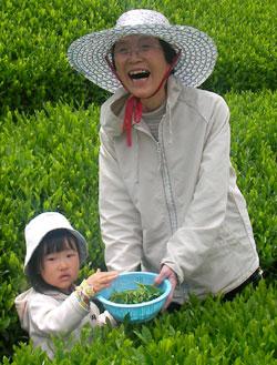 茶摘み 参加者