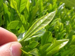 手摘み 茶葉
