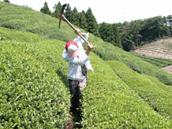 茶畑 風景