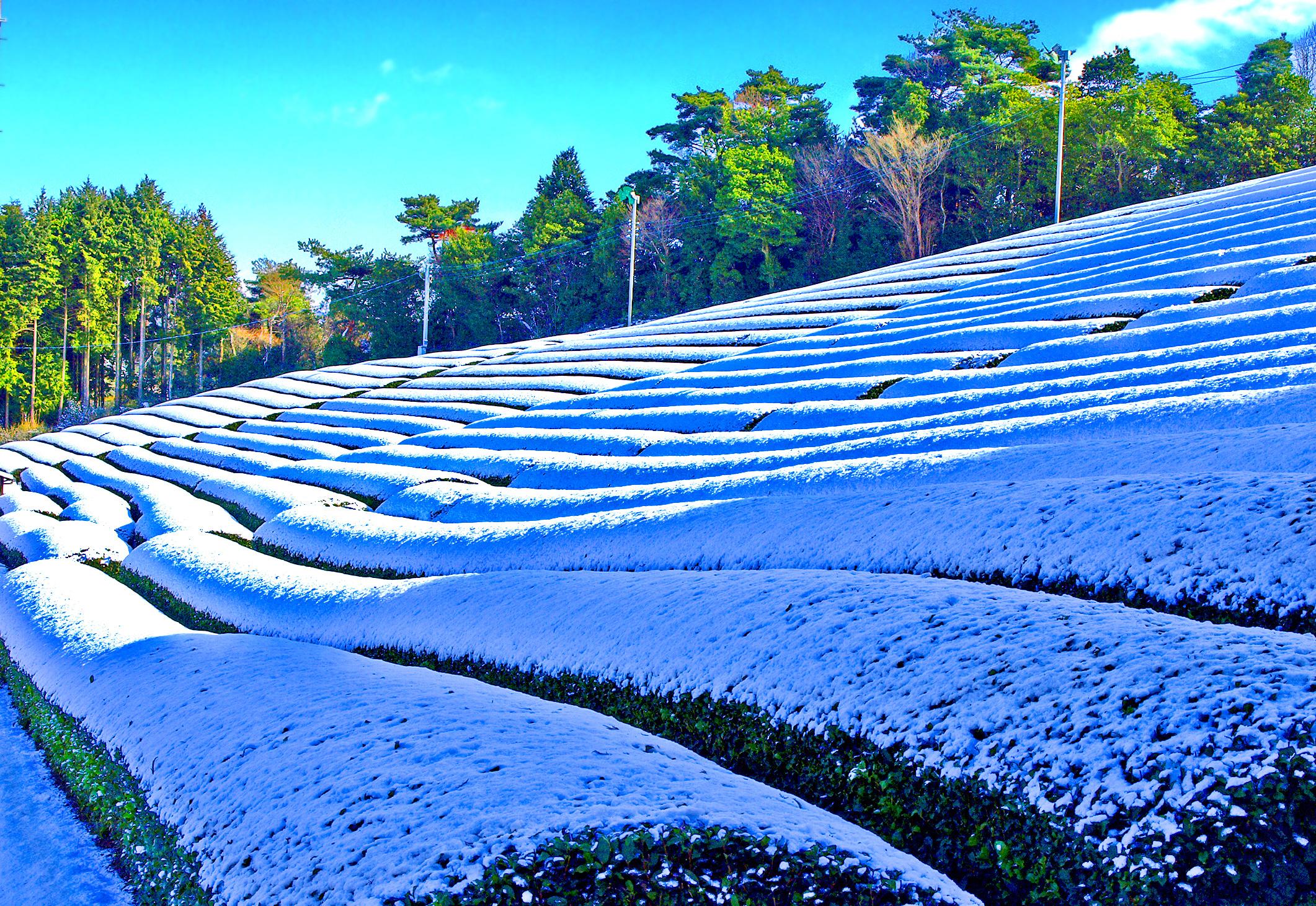 【茶畑写真集】冬の茶畑