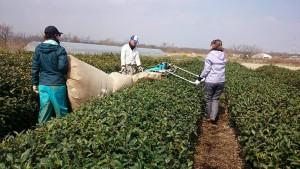【今週の農作業】春番茶刈り