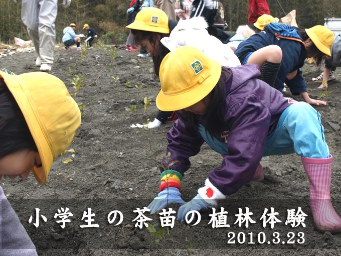 【地域】小学生の茶苗の植林体験