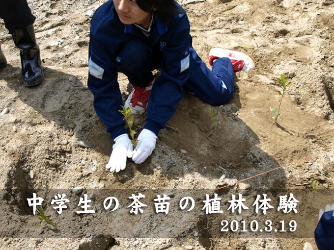 【地域】中学生の茶苗の植林体験2010