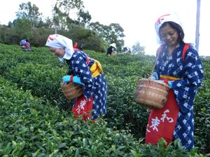 【プレスリリース】めずらしい秋の茶摘体験開催