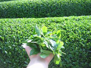 【プレスリリース】めずらしい新茶の「生茶葉」、ネット販売開始