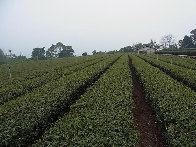 台湾・竹山(ツーサン)の茶畑