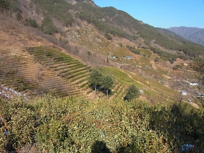 韓国・河東(ハドン)の茶畑