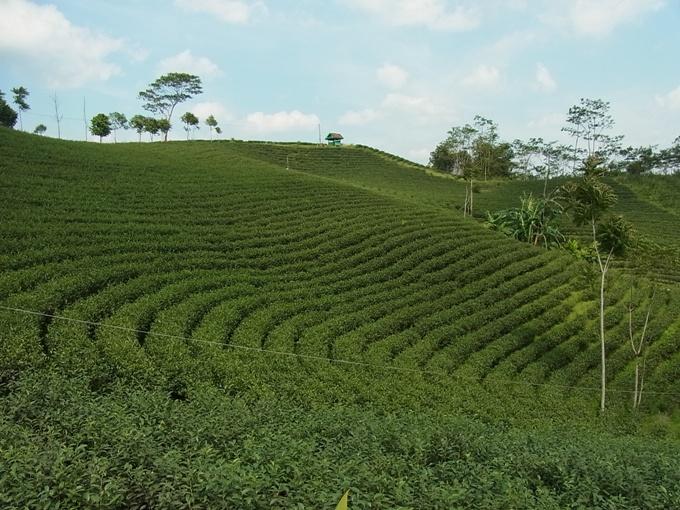 インドネシア・バンタンの茶畑
