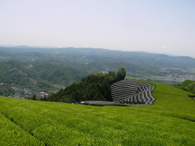 京都・和束の茶畑