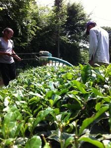 【6月2~3週の農作業】番茶収穫と工場の掃除。