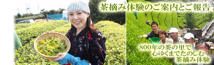 春の茶摘体験