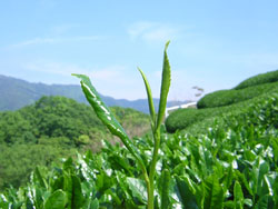 【プレスリリース】福祉施設へのお茶の寄付、軽作業の発注を開始