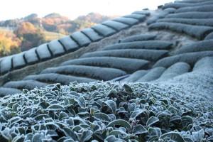 【写真】凍てつく冬の茶畑