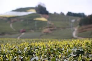 今の茶畑(新芽が出始めました)