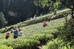 【イベント報告】日本一の茶摘体験2013