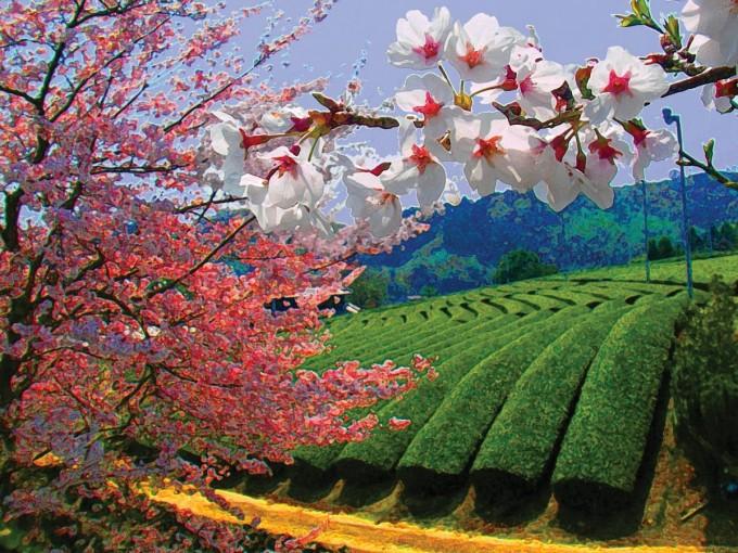 【絵画風】桜と茶畑