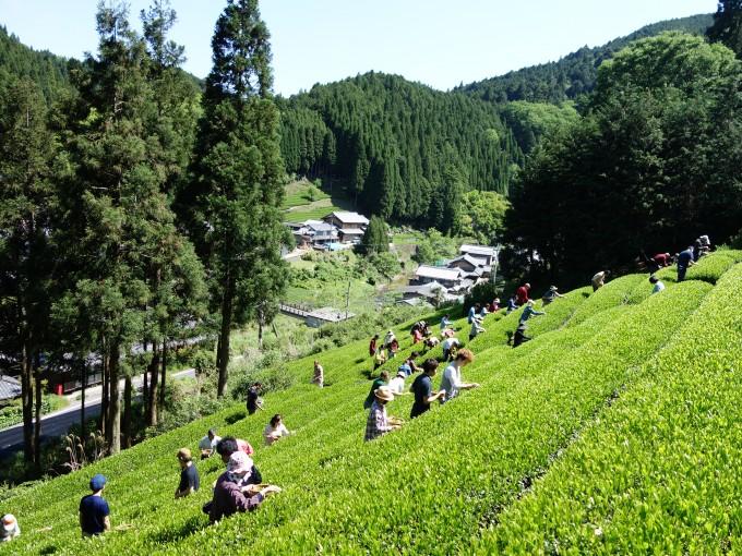 【ご報告】日本一の茶摘体験2014~日本一のお茶つくろうね!プロジェクト~