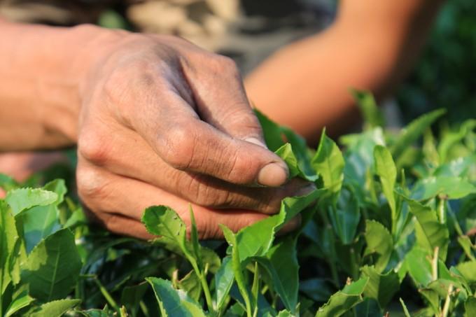 【写真】茶葉と手