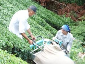 【今週の農作業】碾茶(てんちゃ)の収穫