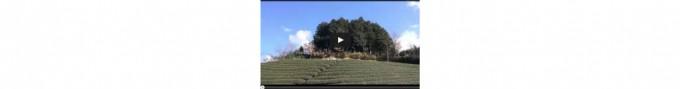 【映像】冬のよく晴れた茶畑 タイムラプス