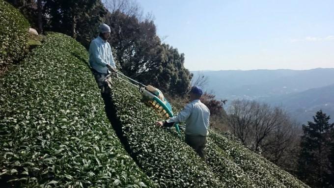 【今週の農作業・3月4週目】春番茶刈り