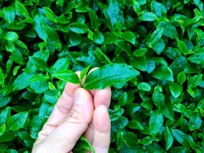 【イベント報告】夏の茶摘体験2015