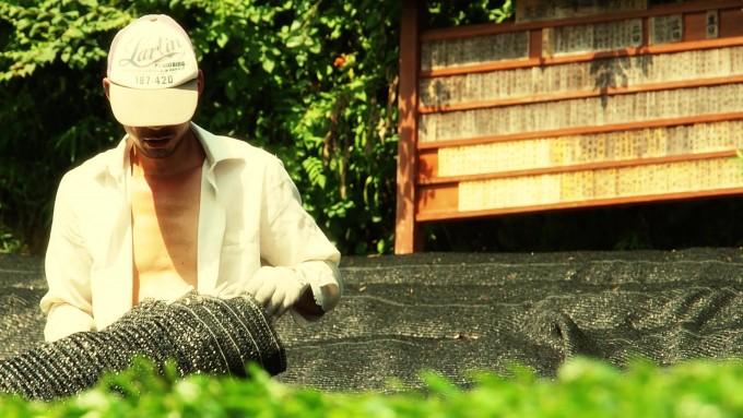 【今週の農作業】碾茶(抹茶)の原料となる茶葉の収穫~撰原~