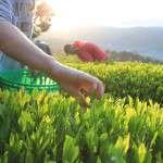 团体导览访茶乡