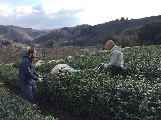 今週の農作業 京番茶 収穫【動画あり】