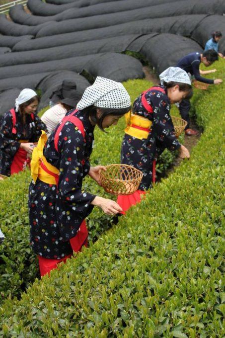 毎年GWにお茶摘体験と製茶体験やってます【京都 宇治茶 和束 イベント 動画]