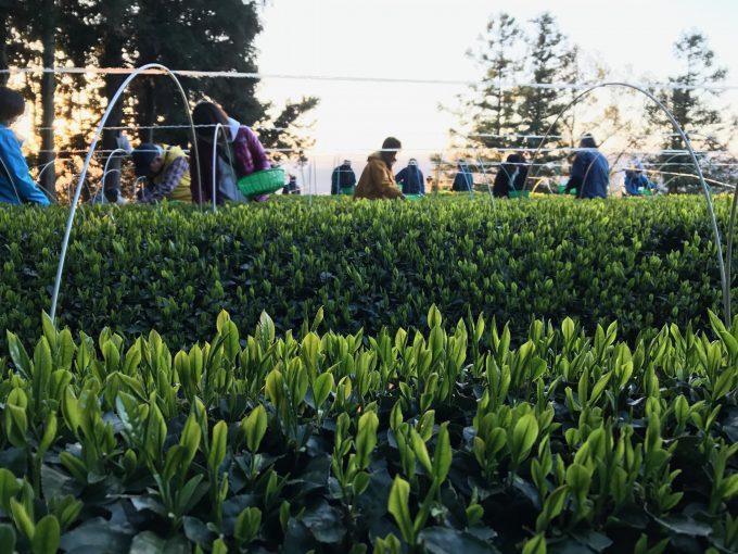 和束町で2017年初摘み〜【京都 宇治茶 和束町】