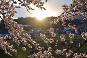 桜  ってなんだか、心にグッときますね…【京都 宇治茶 和束町】