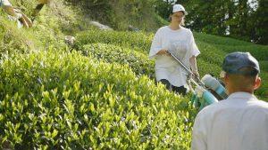 【今週の農作業】おぶぶの春の新茶 「太陽の煎茶(春)」の茶刈り作業の動画です!