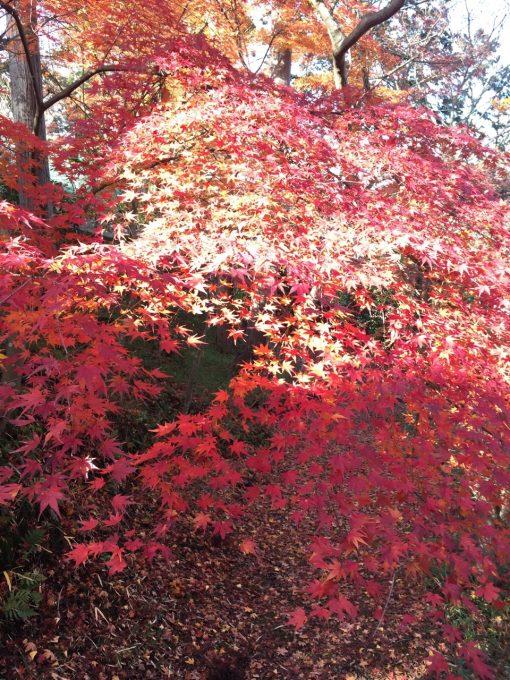 和束も紅葉が綺麗でしたっ