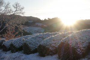 雪の茶畑~茶畑の四季