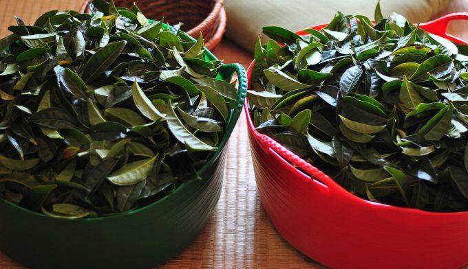 【茶畑オーナー制度】春のお茶