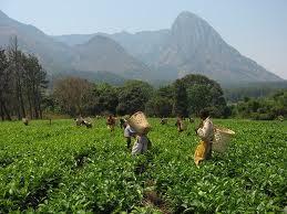【茶畑オーナー制度】海外在住の日本人オーナー