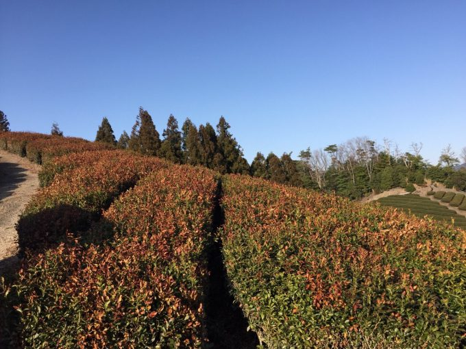 山の茶畑が赤くなっちゃってます…【京都 宇治茶 和束町】