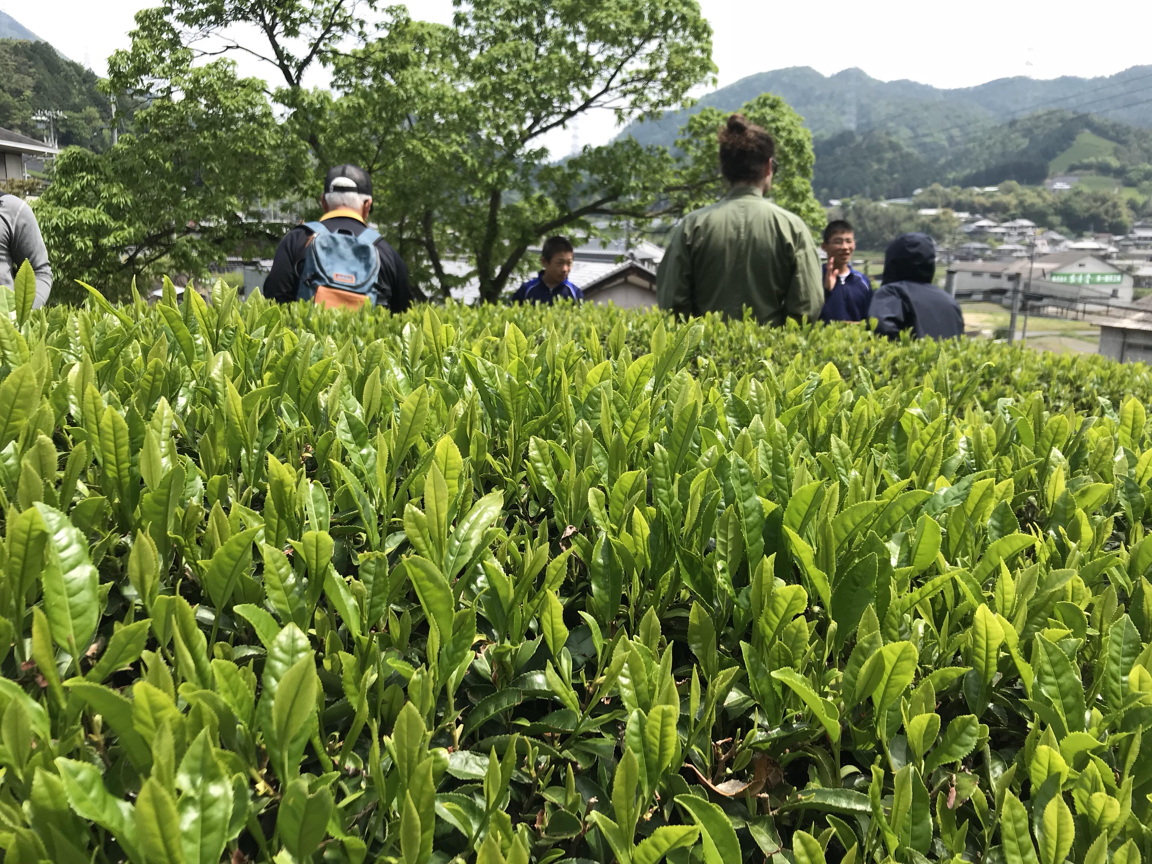 【茶畑からの社会貢献活動】茶摘み体験~奈良県立精華学院の子供たちとともに。