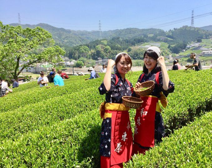 茶摘み&製茶体験できます!【京都 宇治茶 和束町】
