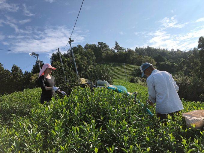 【京都 宇治茶 和束町】秋の新茶の収穫してます!