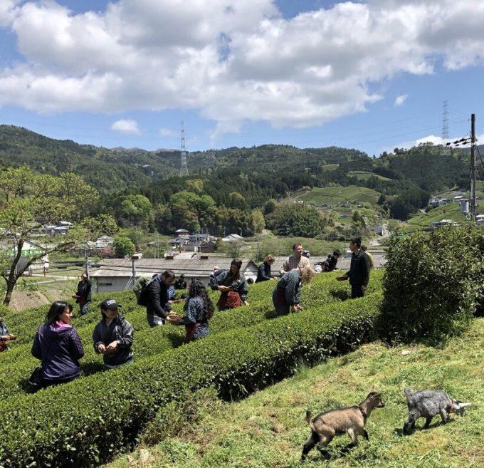 【京都 宇治茶 和束町】春の茶摘み&手もみ製茶体験!2019開催ご報告!