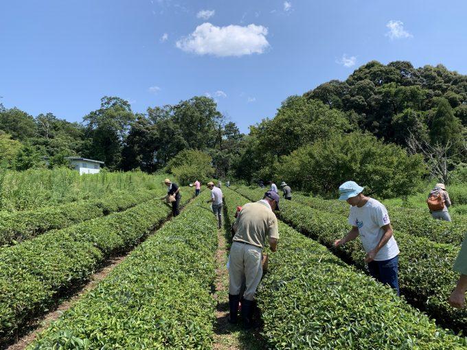 【出張茶摘体験】滋賀愛東町・NPO法人愛の町エコ倶楽部 お茶っぱーず2019