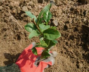 【今週の農作業】お茶の苗植え
