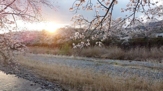 【京都 宇治茶 和束町】 桜と茶畑と川