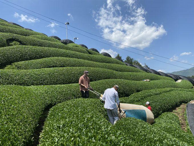 【今週の農作業】新茶の収穫 最盛期!!!