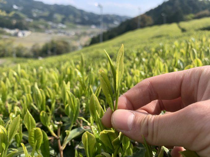 【コロナに負けない!】緑茶カテキン豊富なおぶぶのお茶リスト