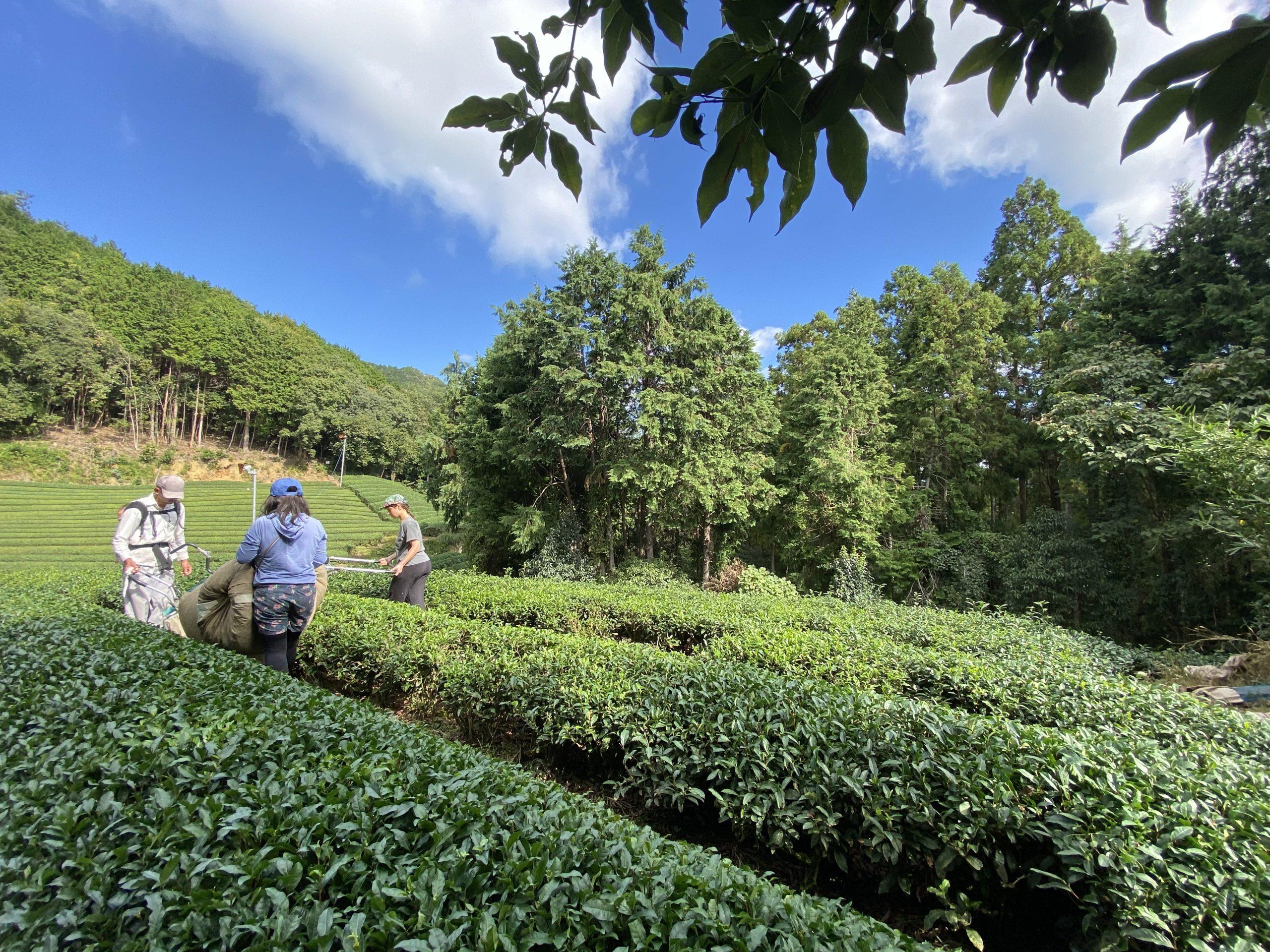 【今週の農作業】秋番茶の収穫